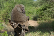 Tanzania - Safari